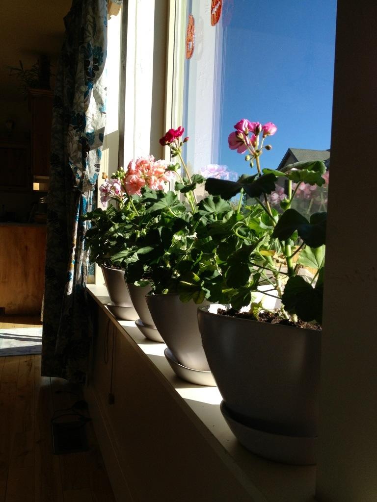 geraniums inside