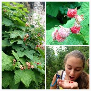 eating wild raspberries
