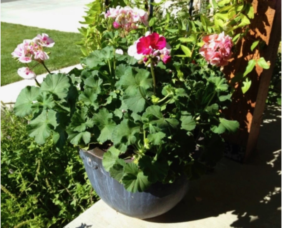 geraniums in for the winter